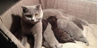 Qual è il comportamento di una gatta incinta?