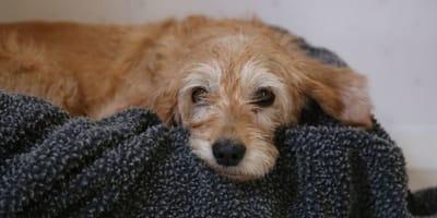Cagnolino-pelo-dorato-su-cuscino-scuro
