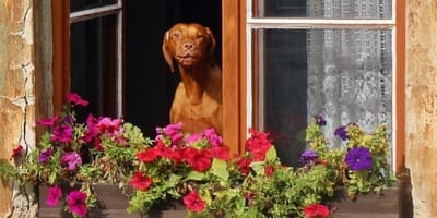 cane-senza-denti-alla-finestra-con-fiori