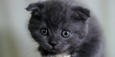 gatto-con-orecchie-piccole