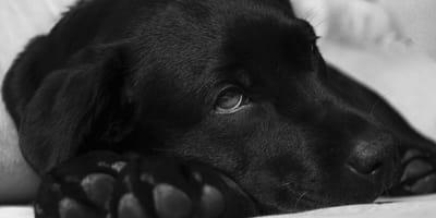 cane anziano con crisi epilettiche