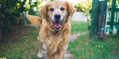 Golden retriever dog in the garden