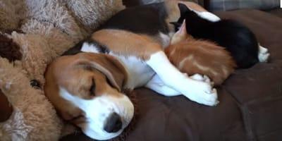 Beagle_adoptuje_dwa_male_koty