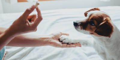Educación en el perro: aprendizaje latente