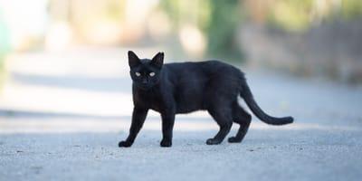 gatto-nero-in-strada