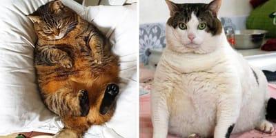 gatos regordetes graciosos