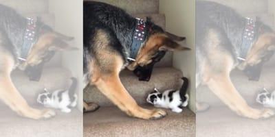 video perro raza pastor aleman ayuda gato subir escaleras