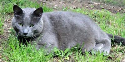 gatto grasso su erba