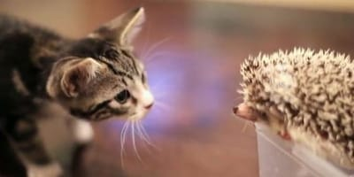 Kitten ontmoet egel: hun kennismaking doet ieders hart smelten!