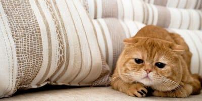 gatto rosso con aria triste