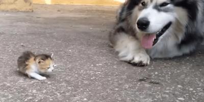 un husky y un bebe gato