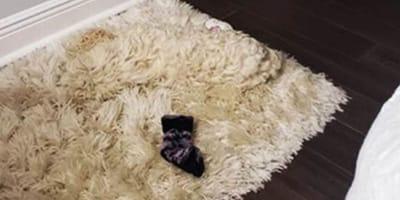dog hiding in carpet