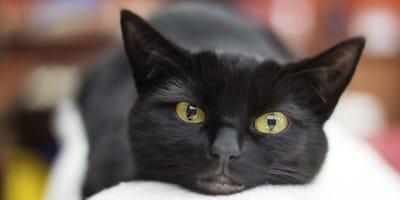 Czarny kot: pechowy, demoniczny, mistyczny. Magia czarnego włosa