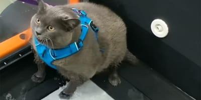 gato en cinta corredora