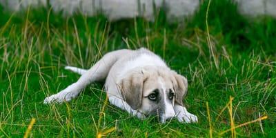 Smutny pies leżący na trawniku