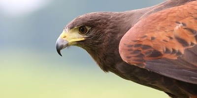 Harris's Hawk close up