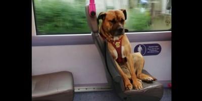 Un cane triste sale da solo su un bus
