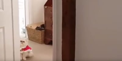 gatto Persiano Chinchillà con mantellina rossa a casa