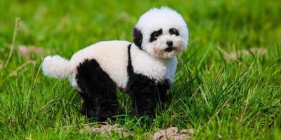 Chow-chows, die aussehen wie Pandas