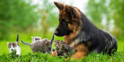 20 Millionen hin und weg: Kätzchen lernt Schäferhund kennen!