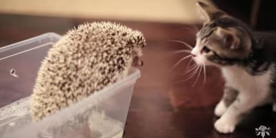 kitty plays with hedgehog