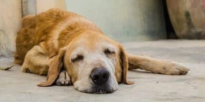 Kranker schlapper Hund