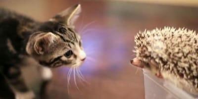 video gato y erizo