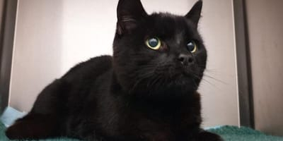 Clyde the black cat