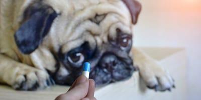 Hund mit Tablette
