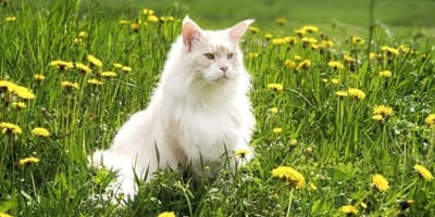 Maine Coon Lotus sits in grassland
