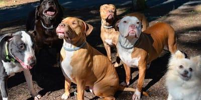 familia de pitbulls