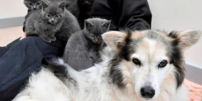 <p>Suczka Skye zajmuje się kociakami z niezwykłą troską!</p>