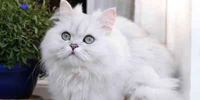 Kot szynszylowy - co to za umaszczenie?