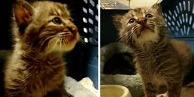 gato montés rescatado
