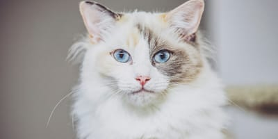 Cats with blue eyes: What's the secret behind your cat's eye colour?