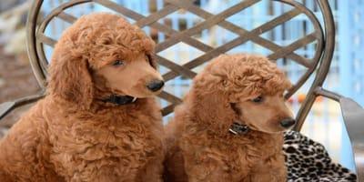 5 varietà di cani dal pelo lungo e ricciuto