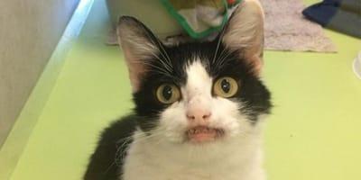 """Uratowana od śmierci kotka """"uśmiecha się"""" do wszystkich w nadziei, że ktoś zabierze ją do domu"""