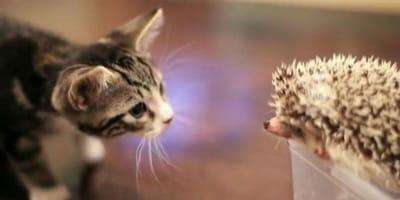 Kotek i jeż