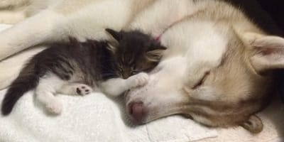 Tigerkatze Rosie und Husky-Dame Lilo