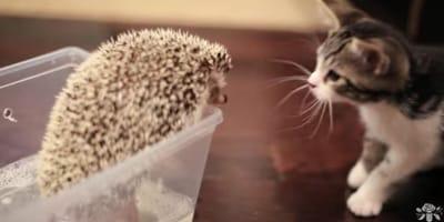 un-gattino-un-riccio
