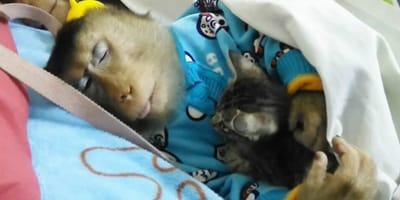 Affe adoptiert Kätzchen