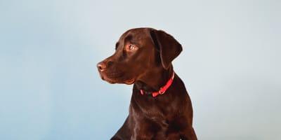 Brown labrador dog