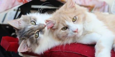 due gatti che si leccano tra loro