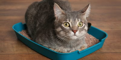 Dlaczego kot śpi w kuwecie?