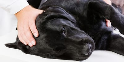 Perro con osteosarcoma