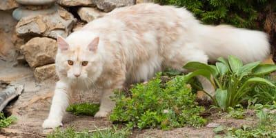 Grote kattenrassen: huiskatten in XXL formaat