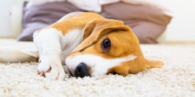 ¿Qué es el síndrome de cushing en perros?