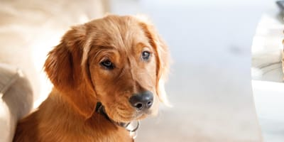 Brown young Golden Retriever dog