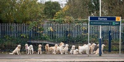 16 Retrievers wait to board a train...