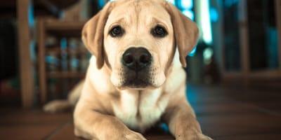 Trauriger Hund blickt in Kamera